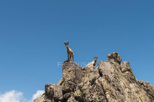 Grey goats looking with curiosity, standing on stony rocks on background of bright blue sky — Stock Photo
