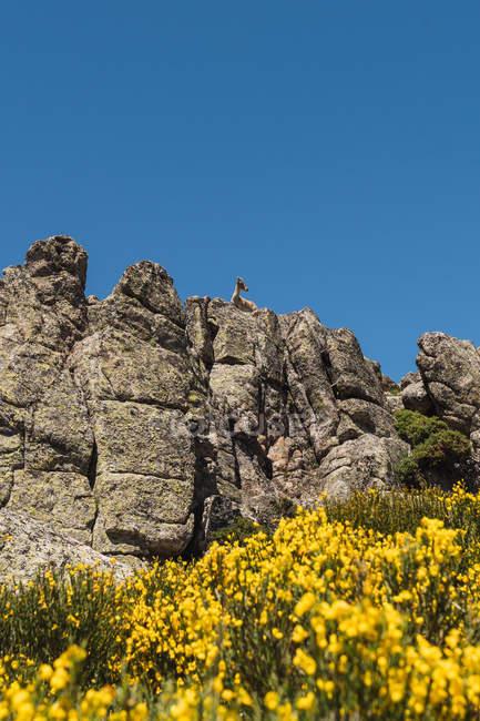Серые козы, смотрящие с любопытством, стоящие на каменистых камнях на фоне ярко-голубого неба — стоковое фото
