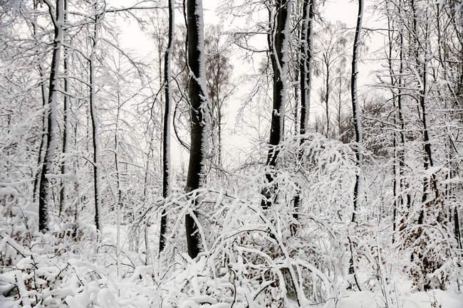 Laubfrei gefrostete Bäume mit weißem, reinem Schnee bedeckt in den Winterwäldern Norwegens — Stockfoto