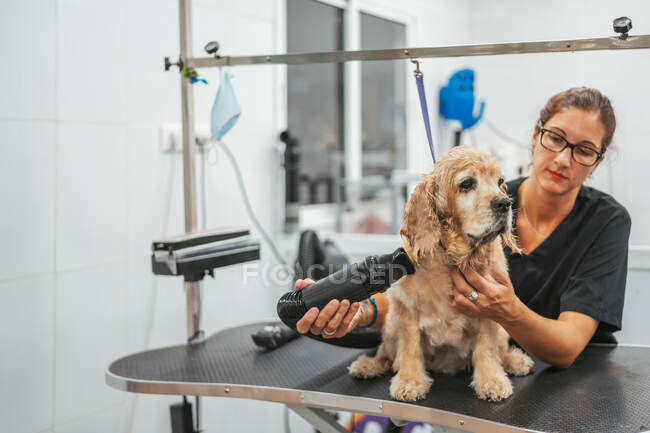 Adult lady in black uniform drying fur of obedient spaniel dog on grooming table in professional salon — Stock Photo