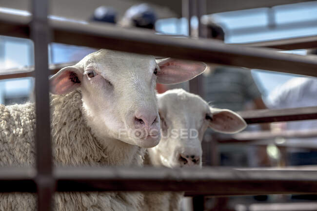 White sheep standing in paddock on suburban farm in village and looking at camera — Stock Photo