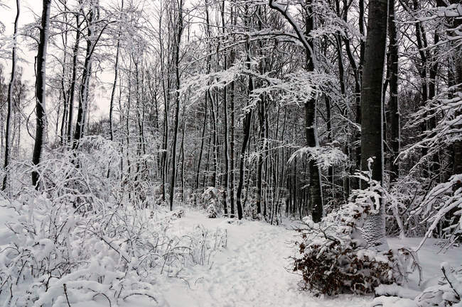 Árvores sem folhas cobertas de neve pura branca em florestas de inverno da Noruega — Fotografia de Stock