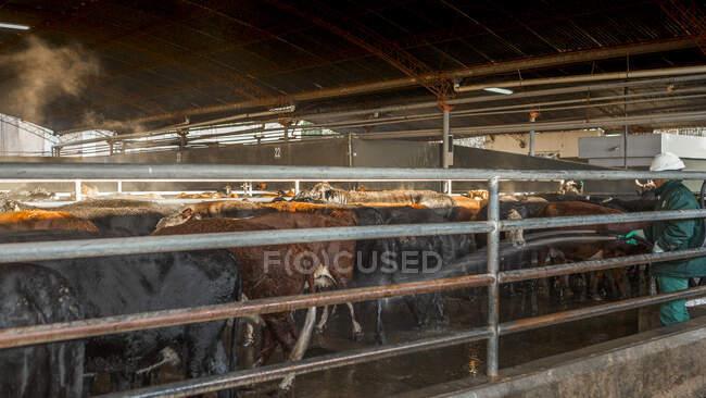 Сторона зору дорослої здорової корови стоїть у стабільному очікуванні на сонці. — стокове фото