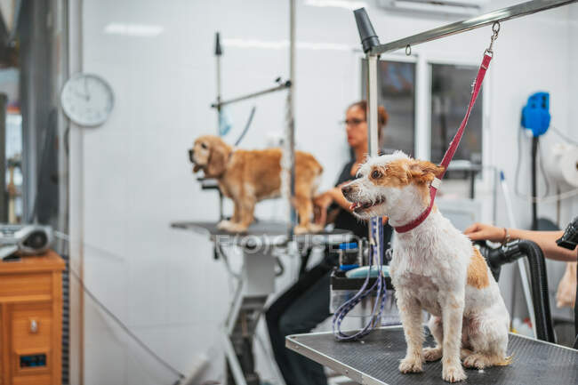Adorable terrier dog with leash sitting on grooming table during visit to modern salon — Stock Photo
