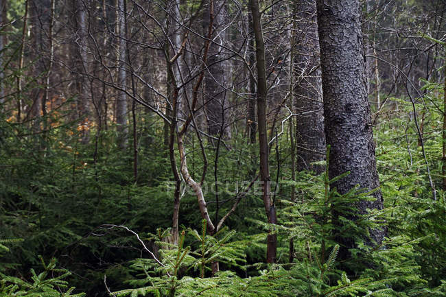 Naked deciduous and evergreen coniferous fir trees in thick forest of Southern Poland in fall on daytime — Stock Photo