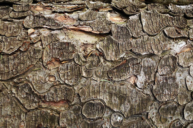 Closeup of old shabby wooden log with cracked bark in forest of Southern Poland on daytime — Stock Photo
