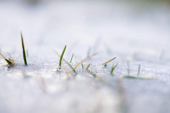 Frozen spiky green grass growing in snow crust in winter — Stock Photo