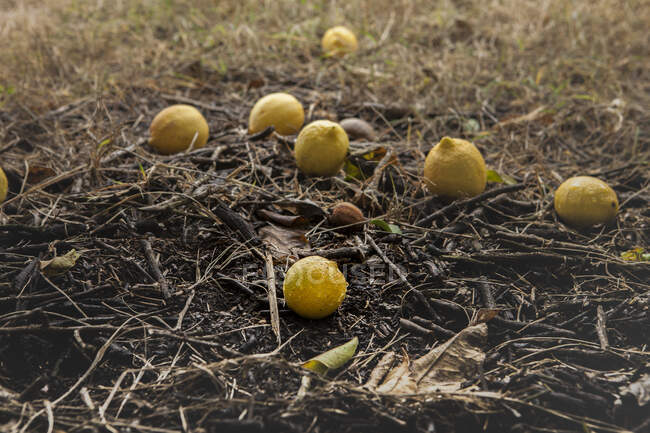Bunch of lemons on ground under tree — Stock Photo