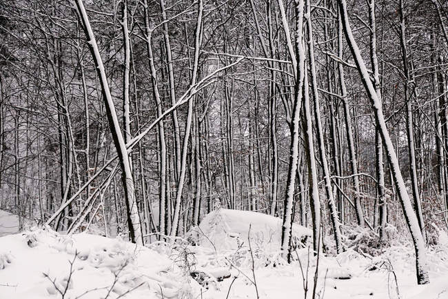 Leafless frosted trees covered with white pure snow in winter woods of Norway — Stock Photo