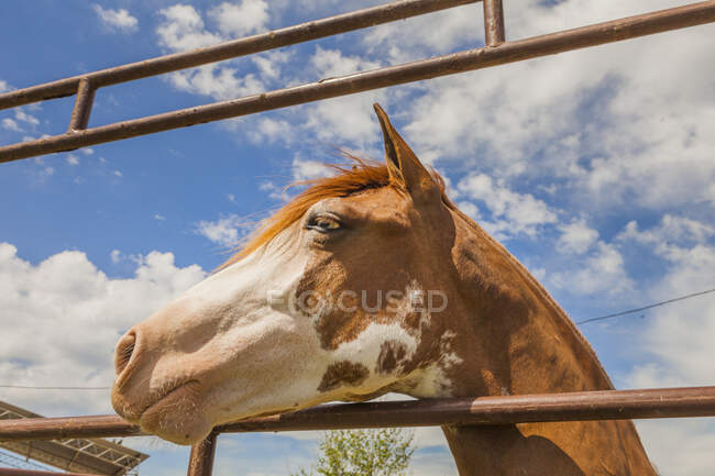 Brown horse standing behind paddock fence — Stock Photo