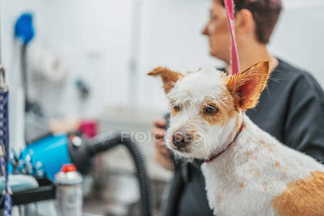 Side view of focused female groomer in glasses drying fur of adorable spaniel dog during work in salon — Stock Photo