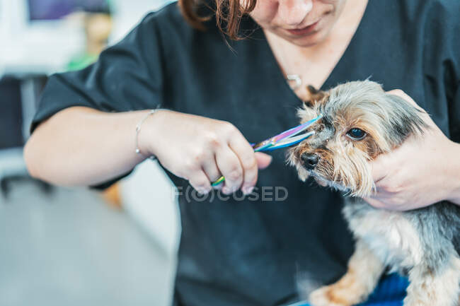 Crop lady using scissors to trim fur on muzzle of cute Yorkshire Terrier on blurred background of grooming salon — Stock Photo
