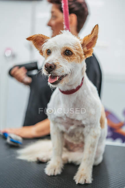 Cute dog sticking out tongue while standing on table in professional grooming salon — Stock Photo