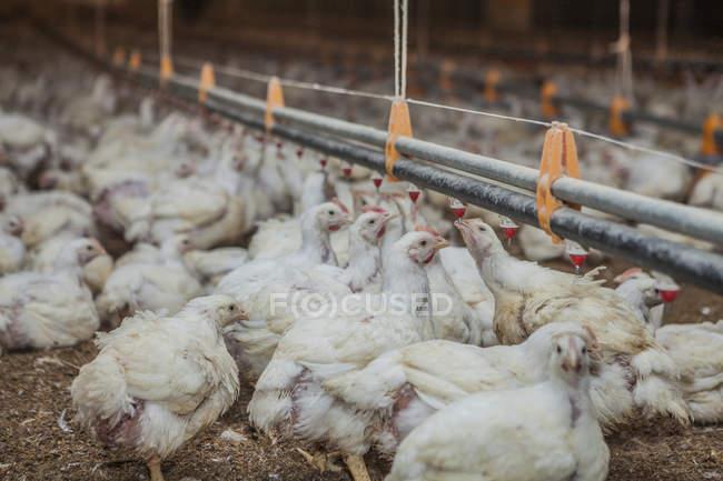 Geflügel auf Hühnerfarm — Stockfoto
