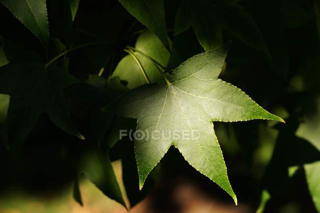 Close-up de folhagem verde fresca — Fotografia de Stock