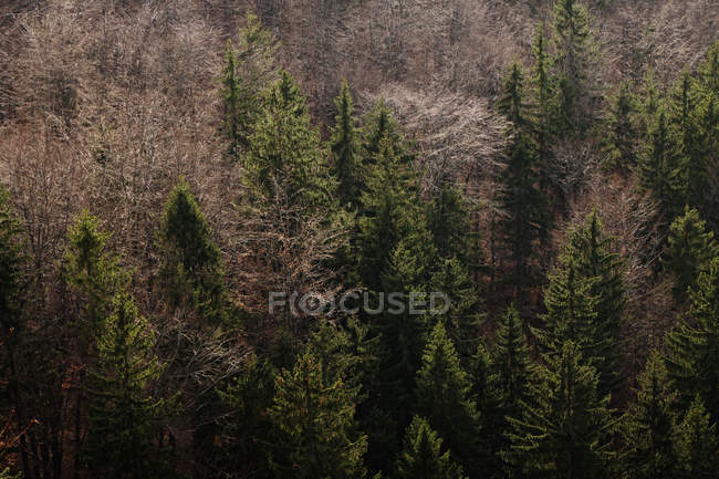 From above autumn forest with different evergreen and bare fir trees in Southern Poland on daytime — Stock Photo