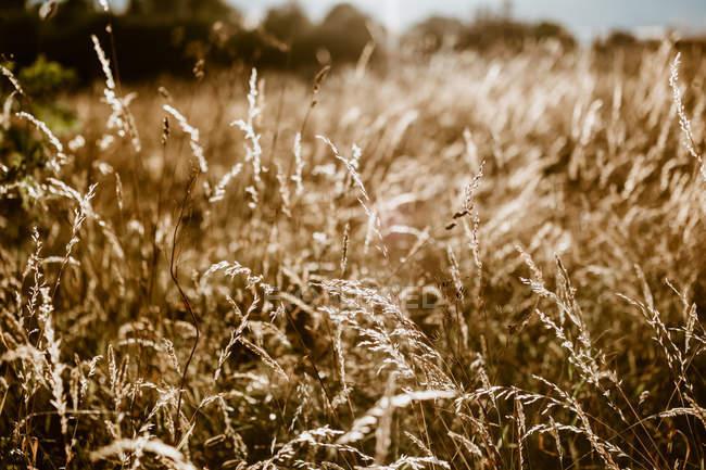 Feld von trockener Hirse — Stockfoto