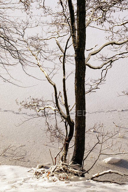 Thin leafless trees growing on snowy ground of cold winter weather in nature in Norway — стокове фото
