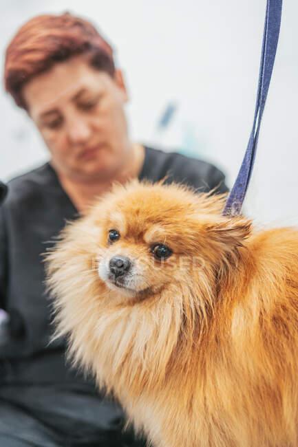 Unrecognizable groomer brushing fluffy Pomeranian Spitz on table in professional salon — Stock Photo
