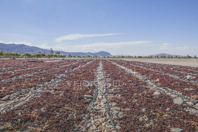 Campo agrícola sin fin con la cosecha listo para el cultivo bajo el cielo nublado sereno - foto de stock