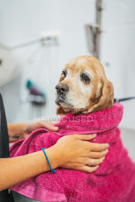 Kind adult woman in black uniform wrapping spaniel dog in towel and drying fur after washing procedure in grooming salon — Stock Photo