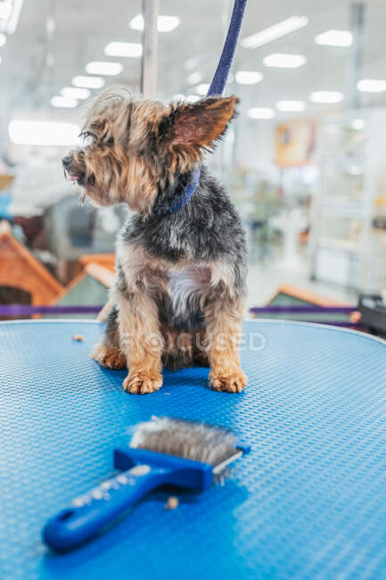 Adorable Yorkshire Terrier with short fur looking away while sitting on blue table near comb in grooming salon — Stock Photo