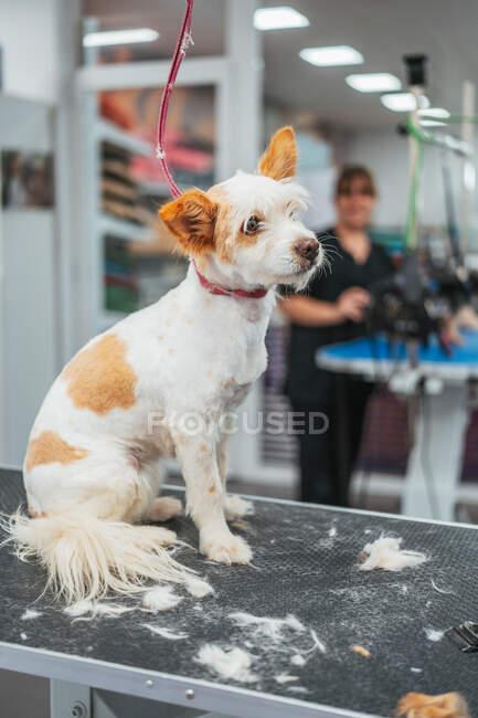 Милий тер'єрний собака сидить на столі після того, як вирізали хутро в роздягальні. — стокове фото
