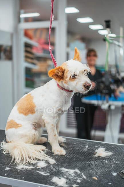 Lindo perro terrier sentado en la mesa después del procedimiento de corte de piel en el salón de aseo - foto de stock