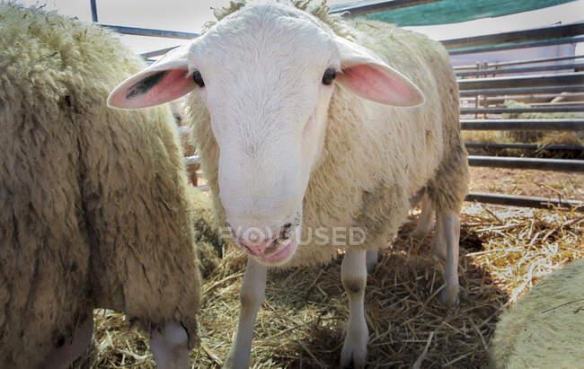Curiosa oveja de pie en corral en la granja - foto de stock