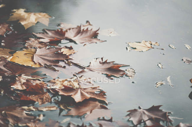 Orange maple leaves floating on surface of calm pond water in autumn park — Stock Photo