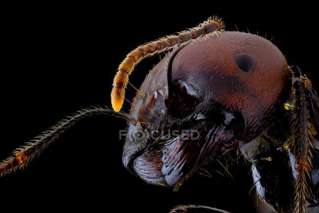 Primer plano de la parte magnificada de la hormiga negra y marrón con vientre brillante y piernas - foto de stock