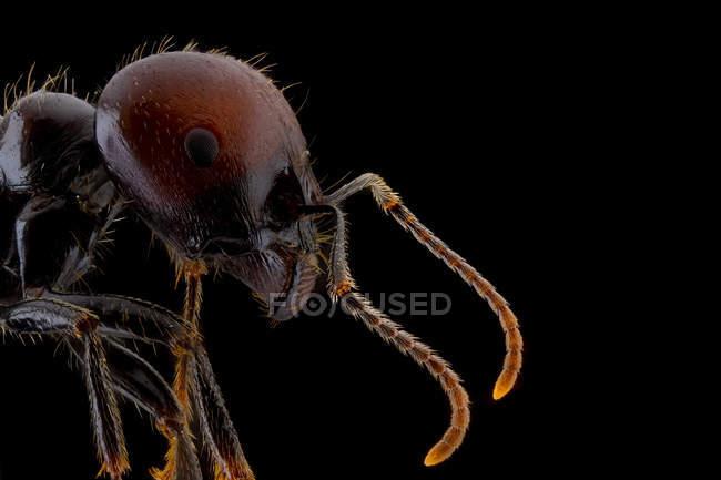 Primer plano magnificado parte de la hormiga negra y marrón con la cabeza brillante y las piernas - foto de stock