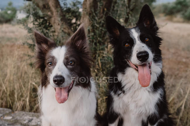 Cães alertas do Collie de beira com orelhas levantadas e furando para fora línguas que sentam-se no campo — Fotografia de Stock