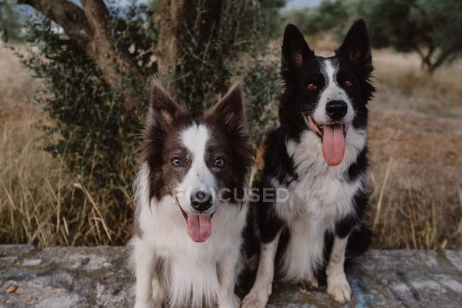 Оповіщення плямистим кордоні Коллі собак з піднятими вухами і стирчить язики сидять на цегляному огорожі в сільській місцевості — стокове фото