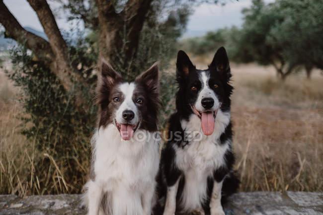 Тревога пятнистых пограничных колли собак с поднятыми ушами и торчащими языками сидя на кирпичном заборе в сельской местности — стоковое фото