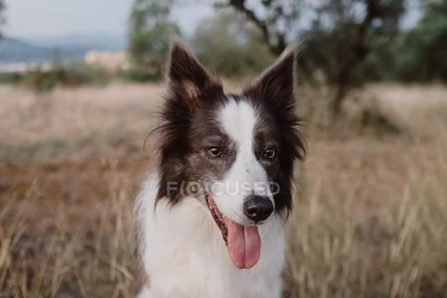 Vecchio bianco e nero Border Collie cane con orecchie sollevate e sporgente lingua in erba secca — Foto stock