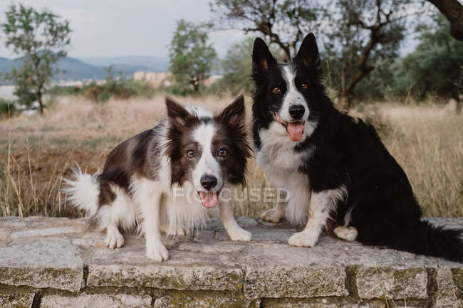 Alert patchy Border Collie dogs with raised ears and sticking out tongues standing on brick fence in countryside — Stock Photo