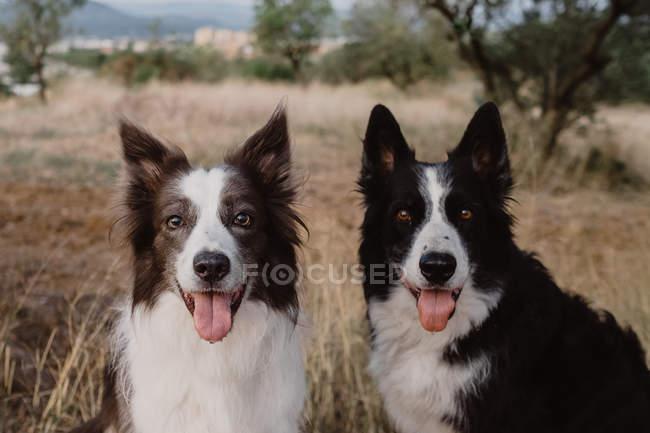 Тревога пятнистых пограничных колли собак с поднятыми ушами и торчащие языки, сидя в сухой траве — стоковое фото