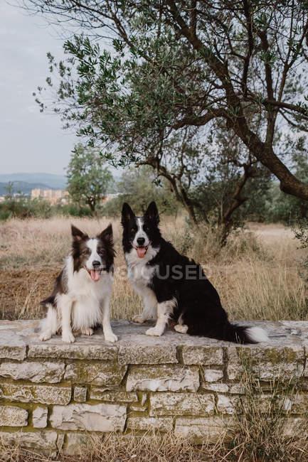 Alerte patchy Border Collie chiens aux oreilles levées et les langues collantes assis sur une clôture en brique dans la campagne — Photo de stock