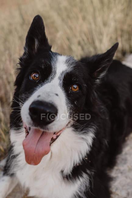 Старая чёрно-белая пограничная колли-собака с поднятыми ушами и высовывающимся языком на лугу, крупным планом — стоковое фото