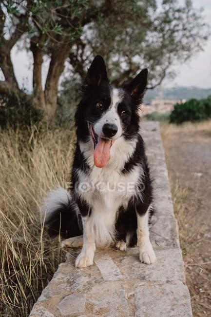 Старая черно-белая пограничная колли-собака с поднятыми ушами и торчащим языком на кирпичном заборе в сельской местности — стоковое фото