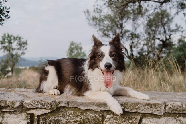 Старая коричнево-белая пограничная колли-собака с поднятыми ушами и торчащим языком, лежащая на кирпичном заборе в сельской местности — стоковое фото