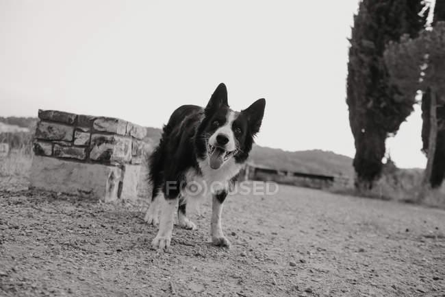 Старая чёрно-белая пограничная колли-собака с поднятыми ушами и торчащим языком, стоящая на серой дороге. — стоковое фото