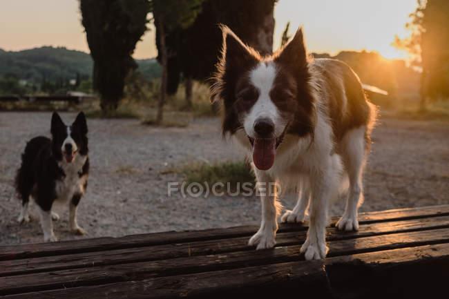 Активні собаки прикордонний Коллі з стирчали мови стоячи в сільській місцевості на заході з підсвічуванням — стокове фото