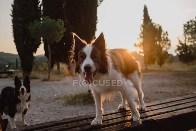 Active Border Collie cani con sporgenti lingue in piedi in campagna al tramonto retroilluminato — Foto stock