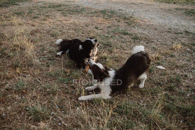 Щасливий плямистим кордоні Коллі собаки гризе палицю під час гри разом на суху траву в сільській місцевості в денний час — стокове фото