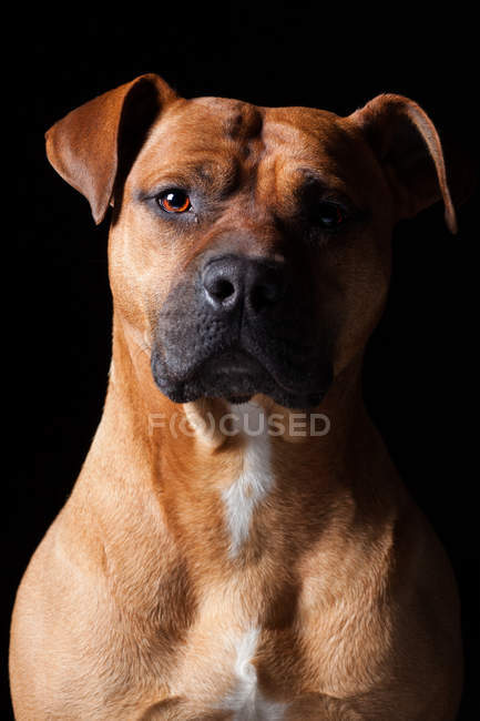 Portrait of amazing pit bull dog looking in camera on black background. — Stock Photo