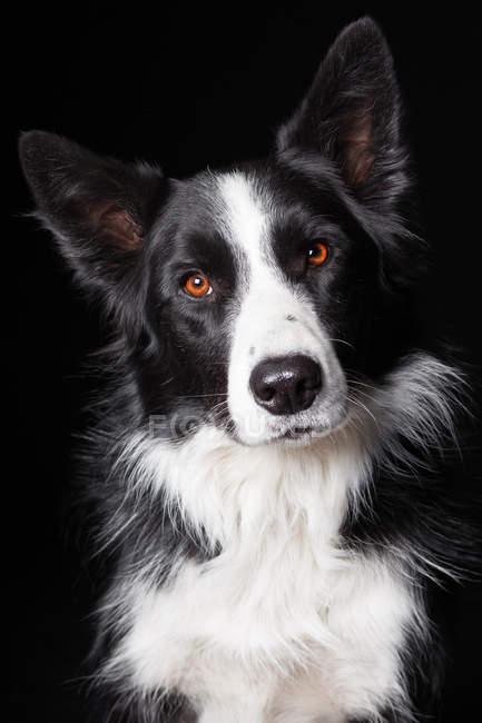 Ritratto di incredibile bordo collie cane guardando in macchina fotografica su sfondo nero . — Foto stock