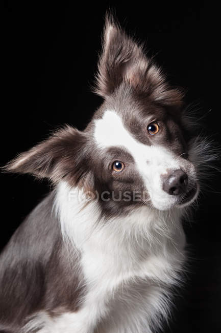 Portrait of amazing border collie dog tilting head and looking in camera on black background. — Stock Photo