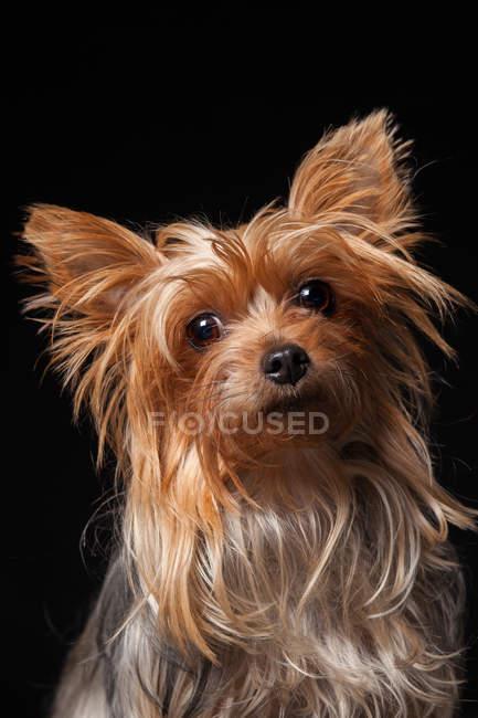 Porträt eines erstaunlichen Yorkshire Terrier Hundes, der in die Kamera auf schwarzem Hintergrund blickt. — Stockfoto